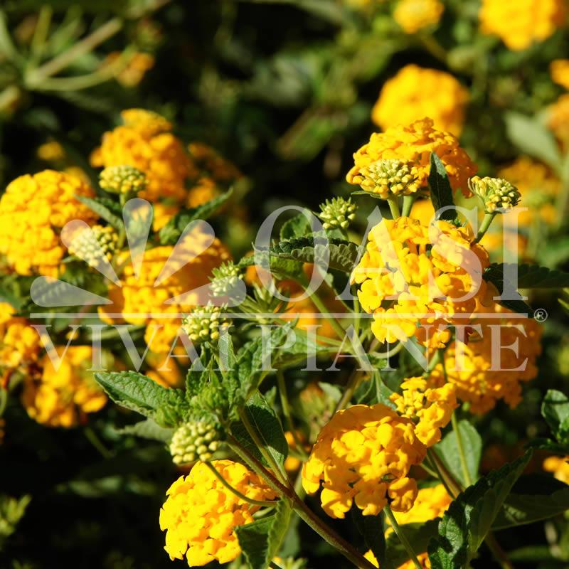 Lantana sellowiana 'Lutea'