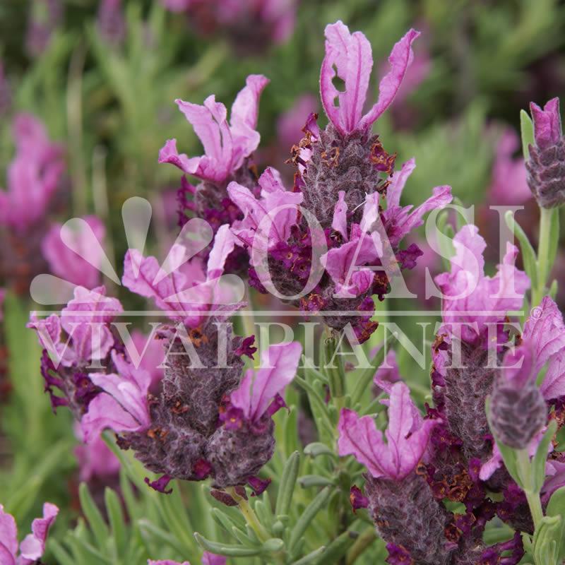 Lavandula stoechas 'Papillon'