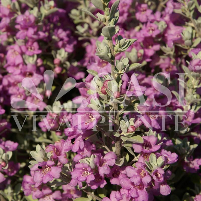 Leucophyllum minus 'Compactum'
