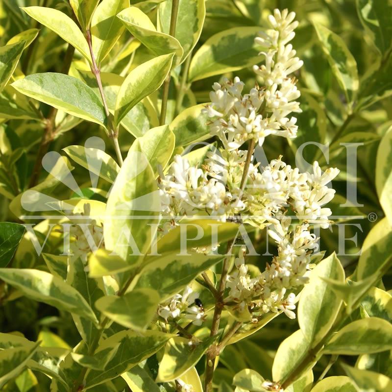 L. ovalifolium 'Aureum'