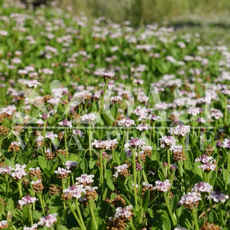 Lippia nodiflora (Phyla n.)