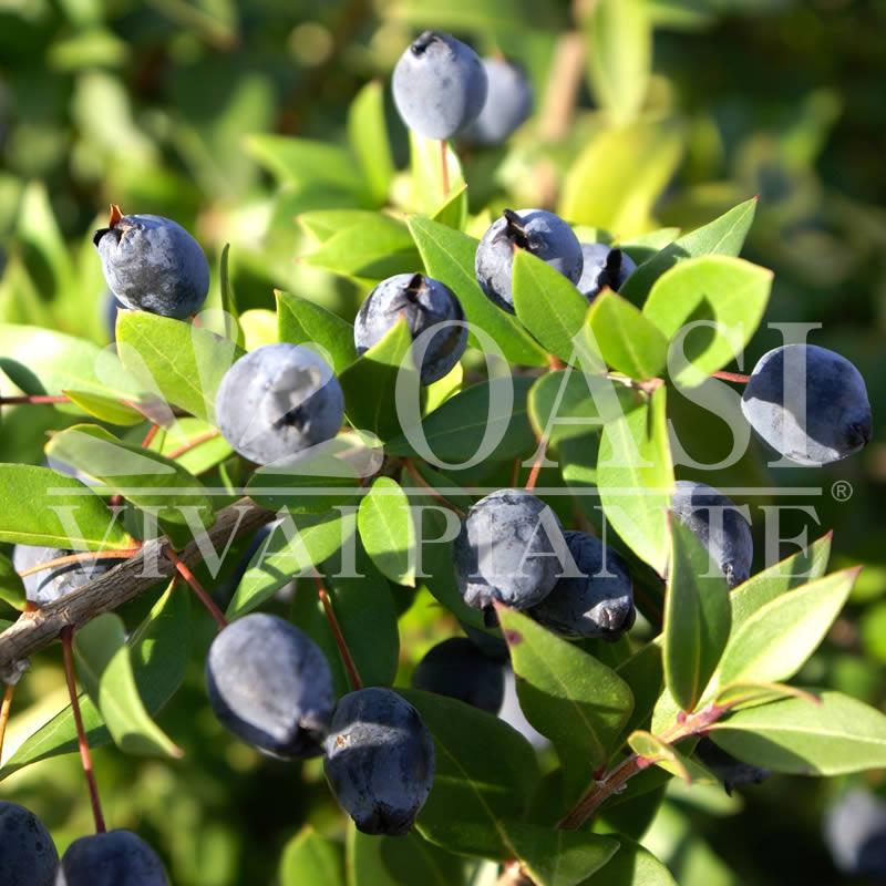 Myrtus communis (frutti)