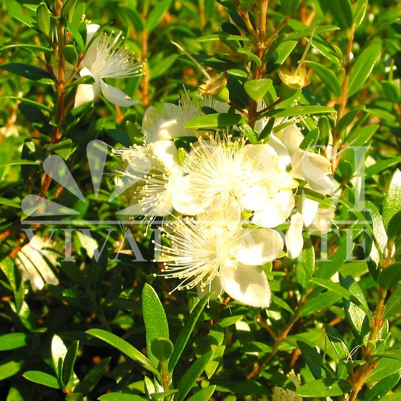 Myrtus communis tarentina 'Microphylla'