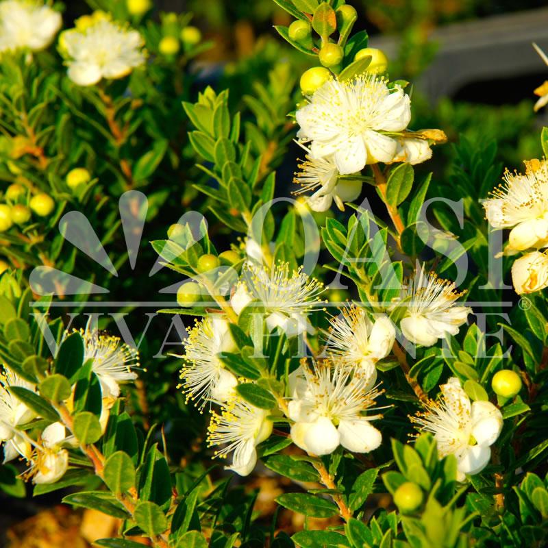 Myrtus communis tarentina