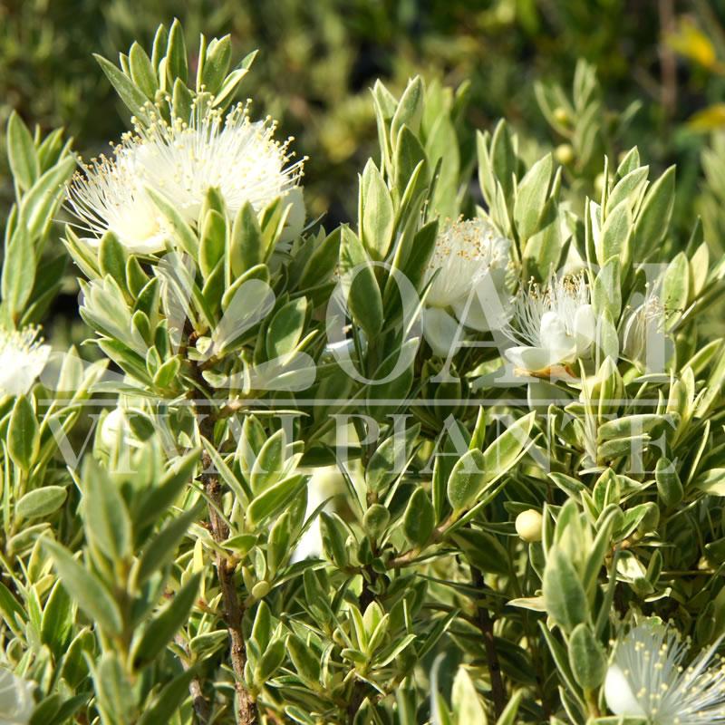 Myrtus communis tarentina 'Variegata'
