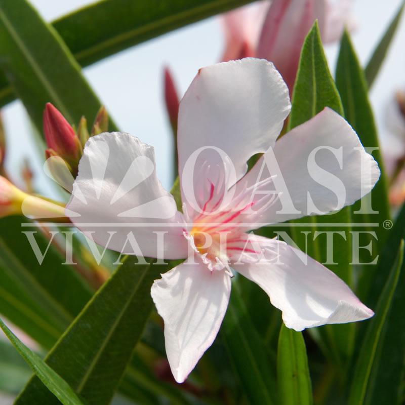Nerium oleander 'Alsace'