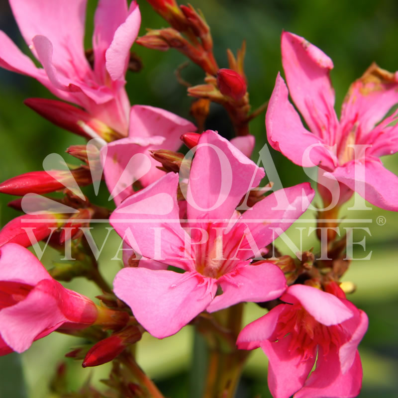 Nerium oleander 'Belle Helen'