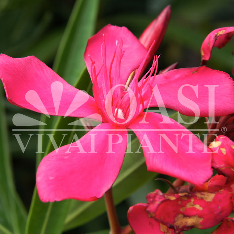 Nerium oleander 'Hardy Red'