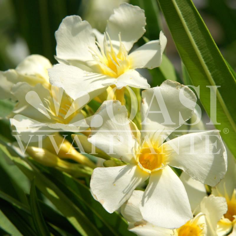 Nerium oleander 'Isle Of Capri'