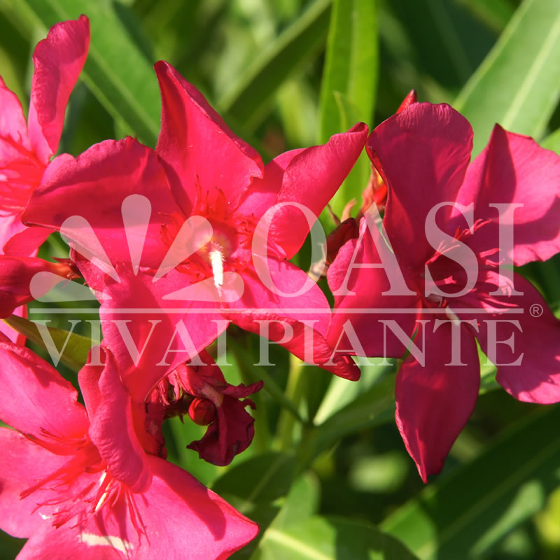 Nerium oleander 'J.R.'