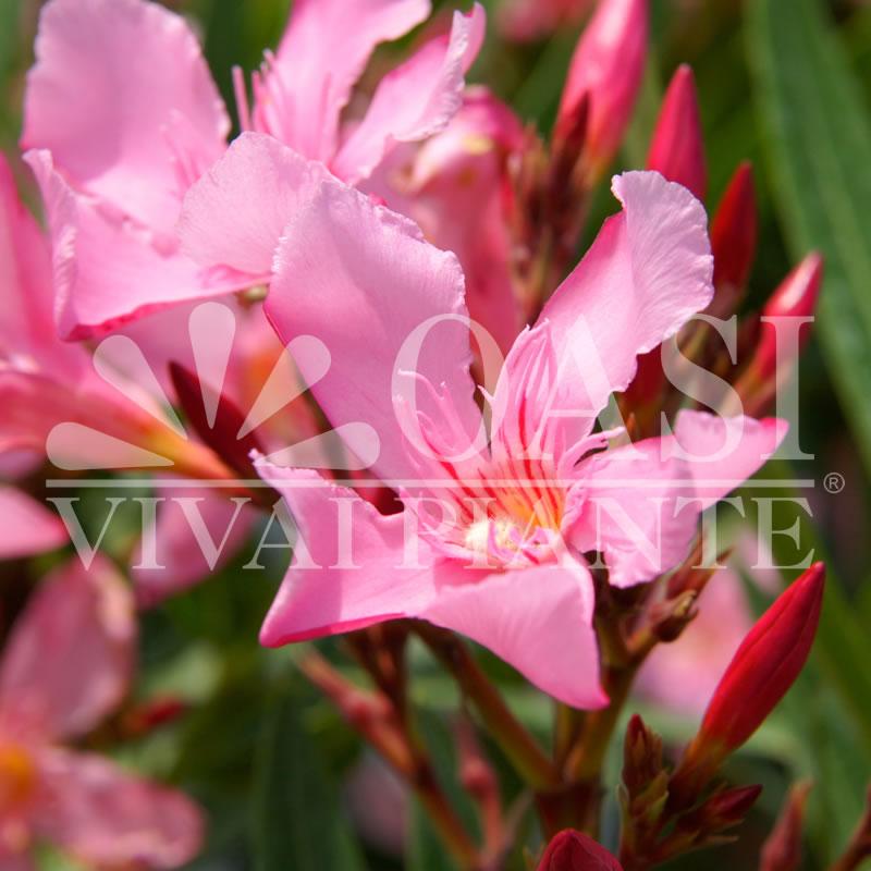 Nerium oleander 'Magaly'