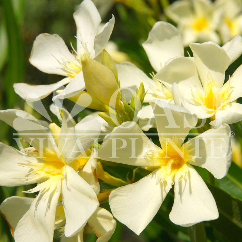 Nerium oleander 'Marie Gambetta'