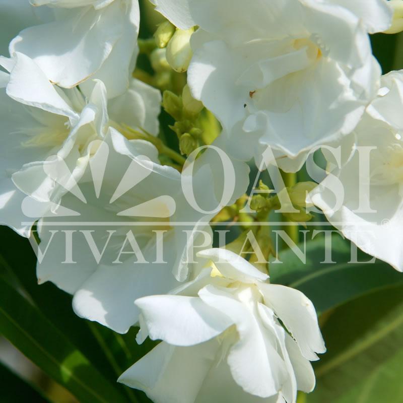 Nerium oleander 'Mont Blanc'