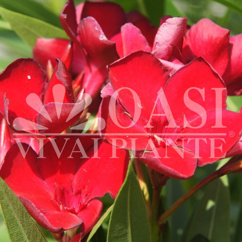 Nerium oleander 'Rosso Sangue'