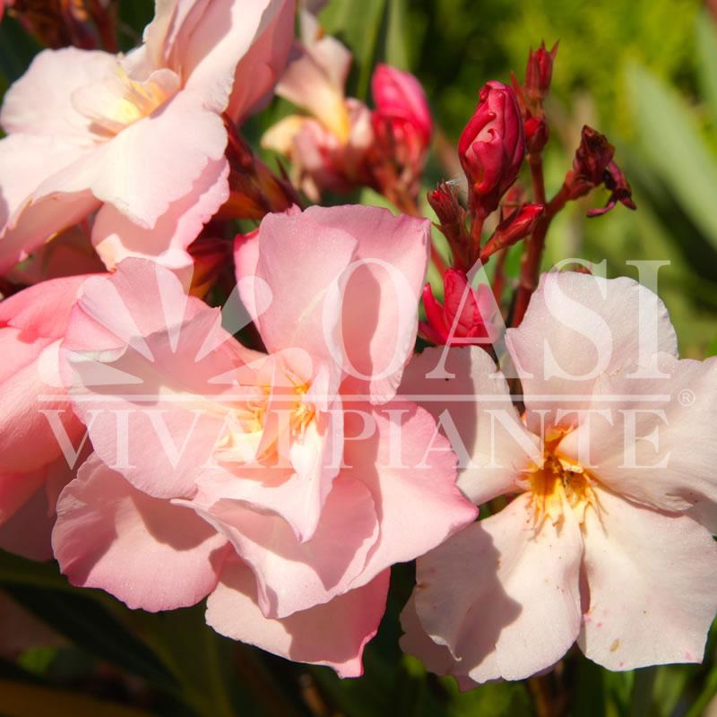 Nerium oleander 'Salmone Doppio'