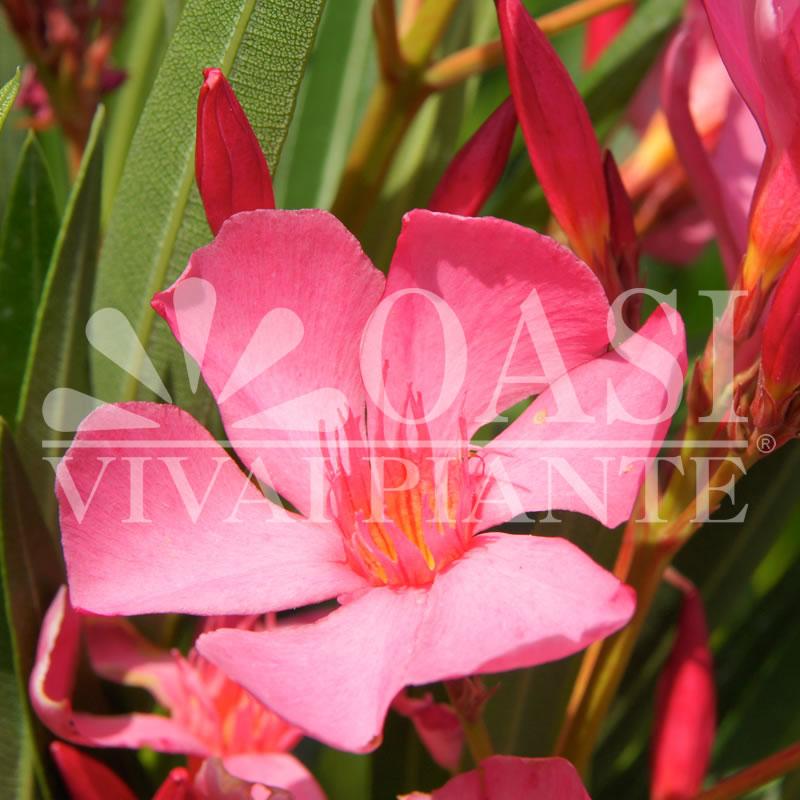 Nerium oleander 'Soleil Levant'