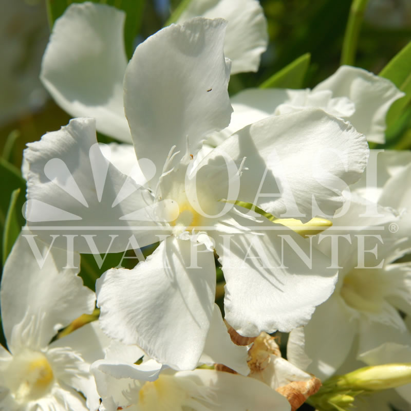 Nerium oleander 'Suor Agnes'