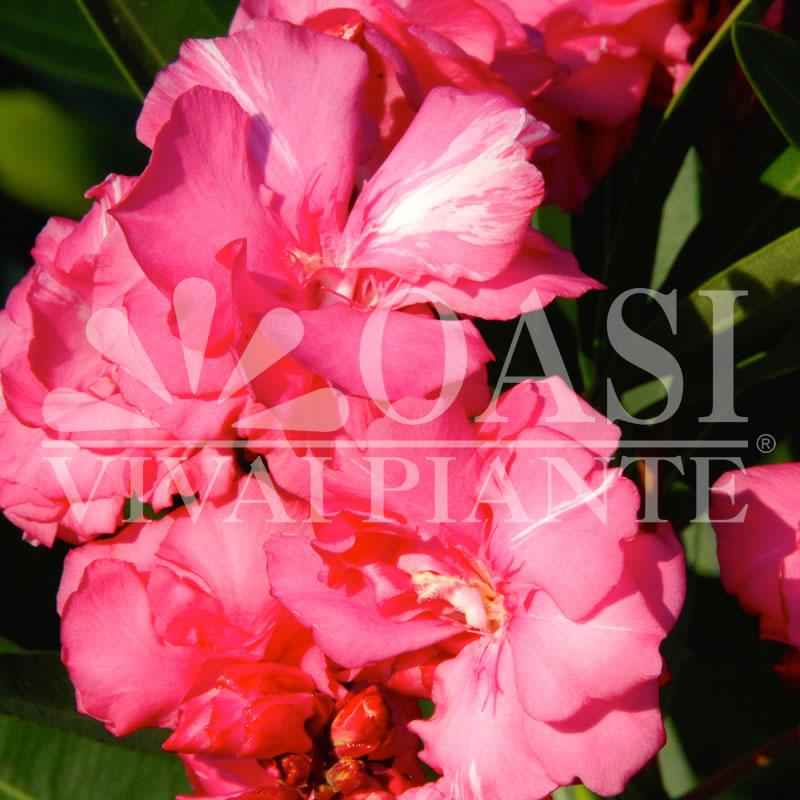 Nerium oleander 'Torre Marcone'