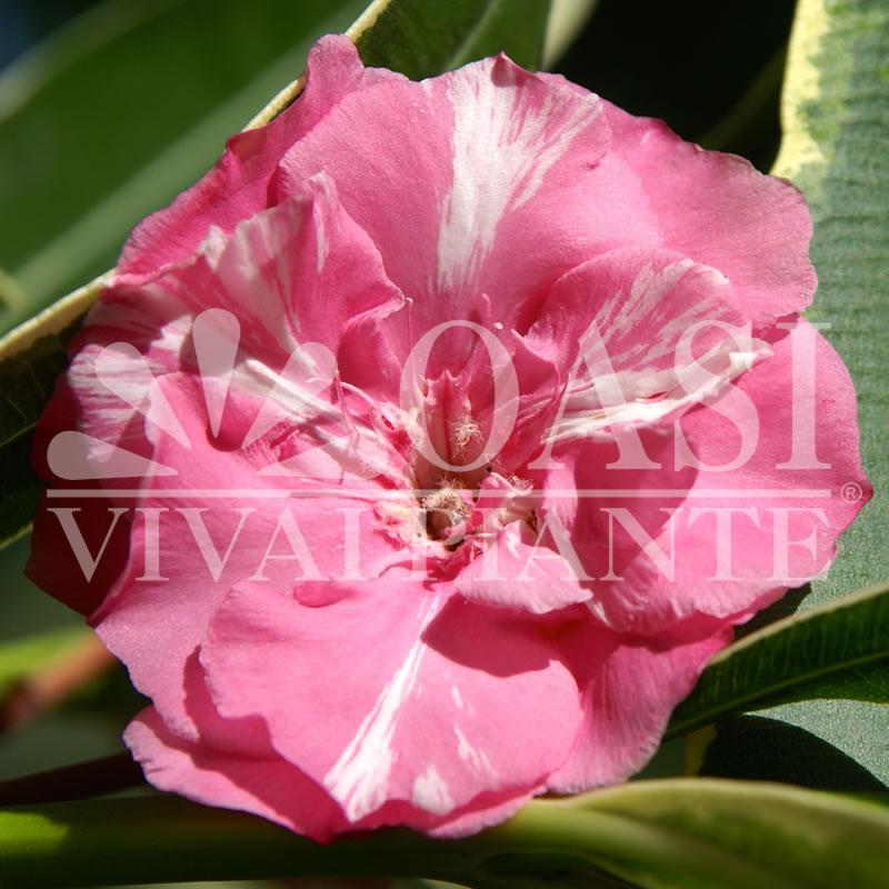 Nerium oleander 'Variegato'