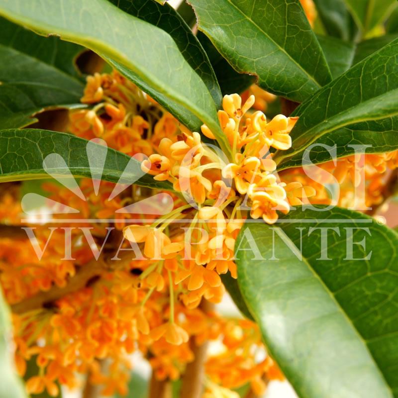 Olea fragrans 'Aurantiacus'