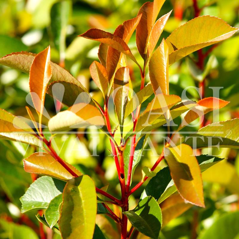 Photinia x fraseri 'Arancio'