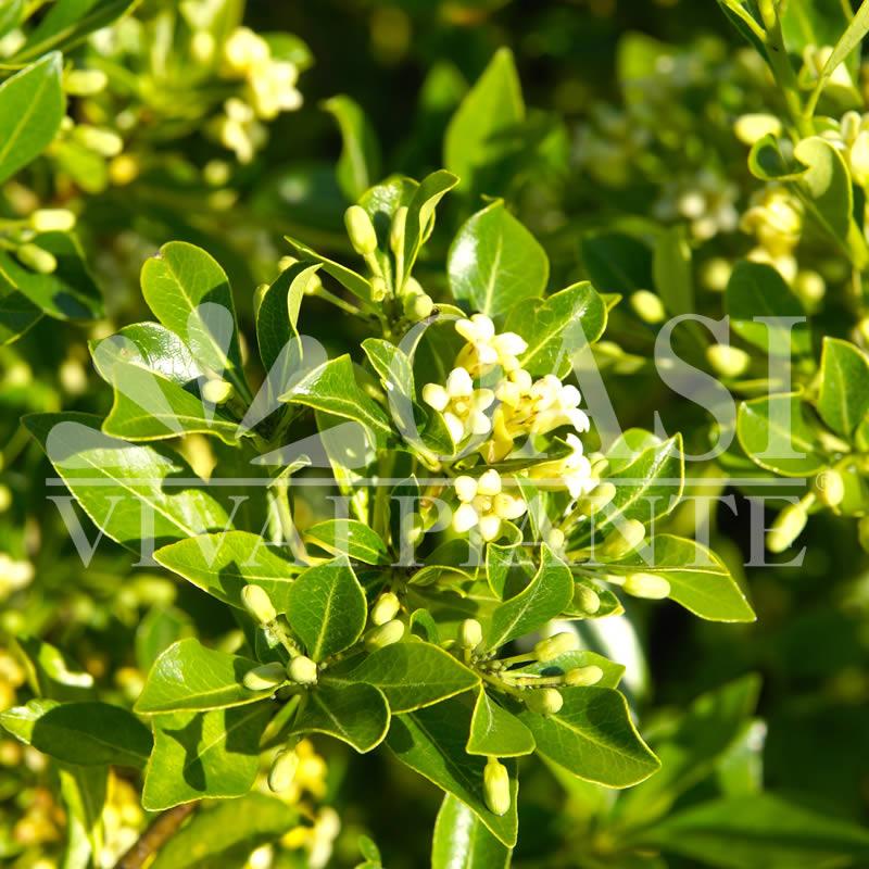 Pittosporum heterophyllum undulatum