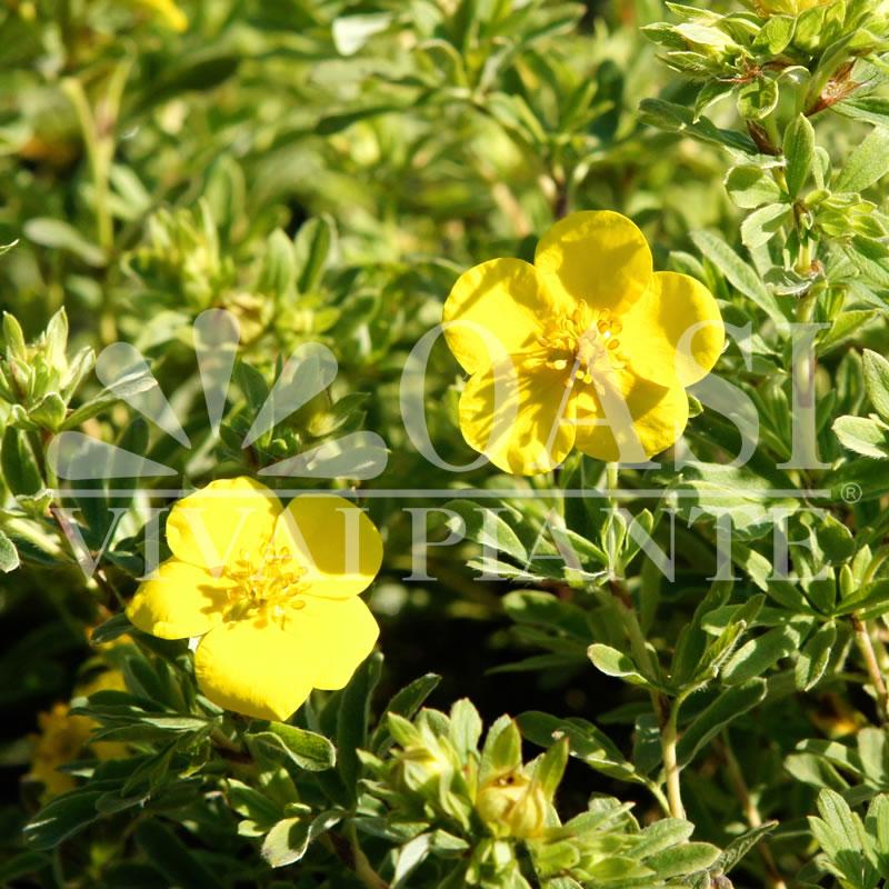 Potentilla fruticosa 'Goldstar'