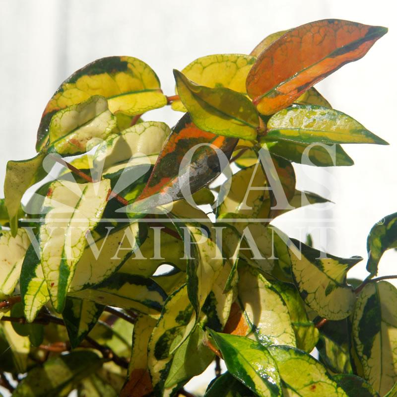 Rhyncospermum asiaticum 'Summer Sunset'