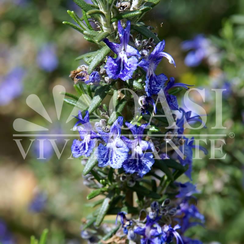 Rosmarinus officinalis angustissimus 'Corsican Blue'