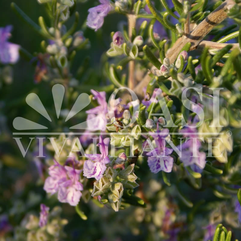 Rosmarinus officinalis 'Majorca Pink'