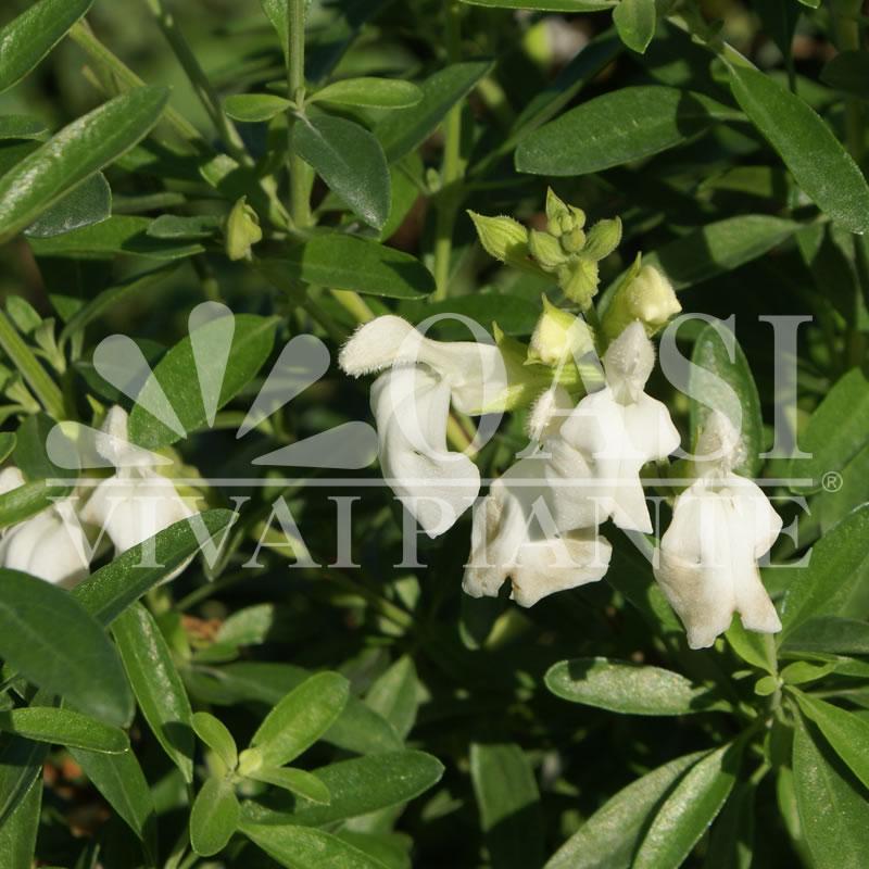 Salvia greggii 'Albiflora'