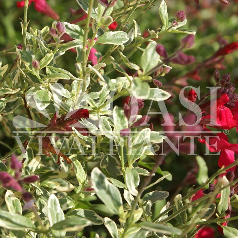 Salvia greggii 'Variegata'