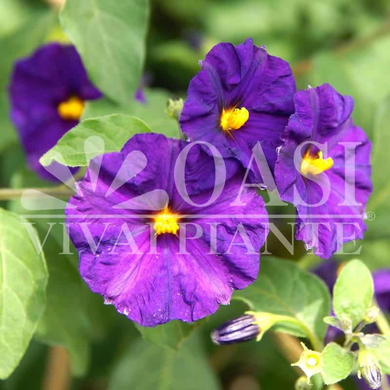 Solanum rantonnetii