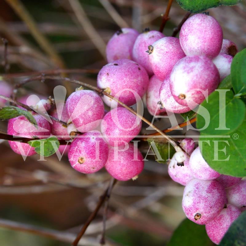 Symphoricarpos x doorenbosii 'Magic Berry'