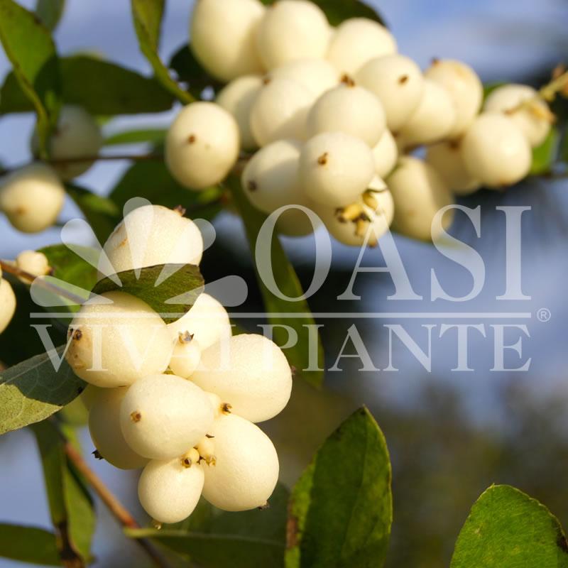 Symphoricarpos x doorenbosii 'White Hedge'