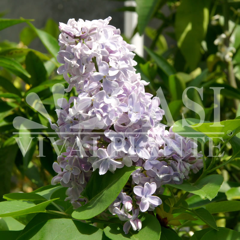 Syringa vulgaris sp.