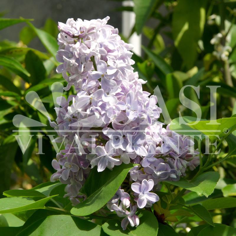 Syringa vulgaris sp.