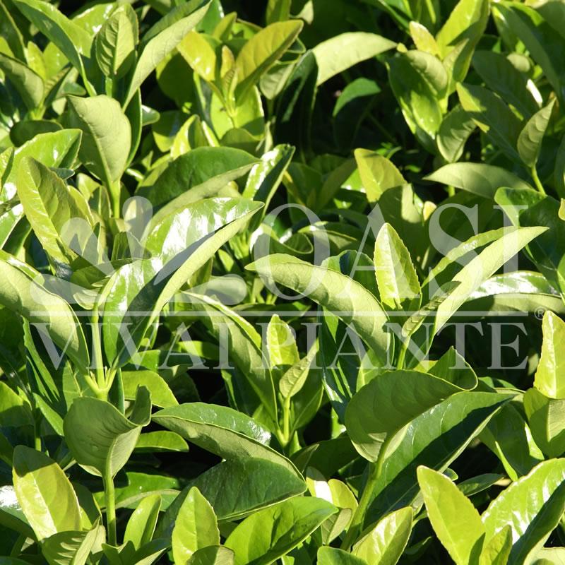 Viburnum tinus 'Lucidum'