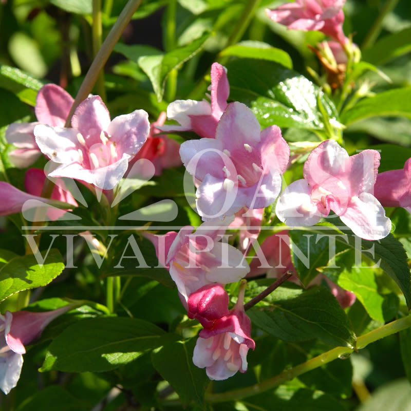 Weigela praecox 'Bouquet Rose'