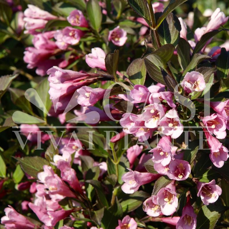 Weigela florida 'Purpurea'
