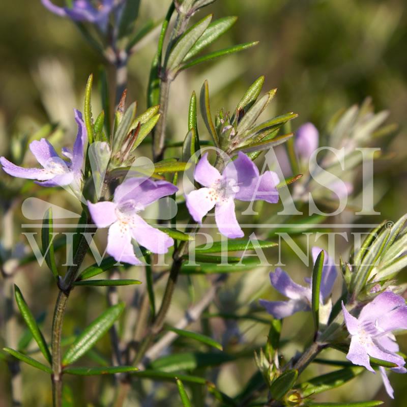 Westringia rosmariniformis 'Wynyabbie Gem'