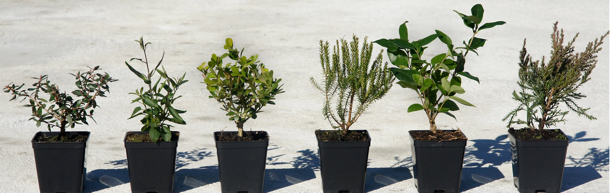 giovani piante in vasi